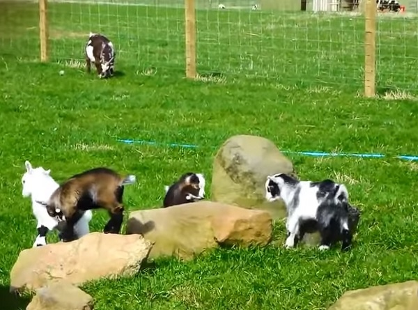 These Funny Goats Will Instantly Put a Smile on Your Face (Video)