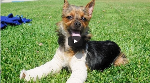 Abandoned Yorkie with Broken Legs Feels Absolutely Happy (Video)