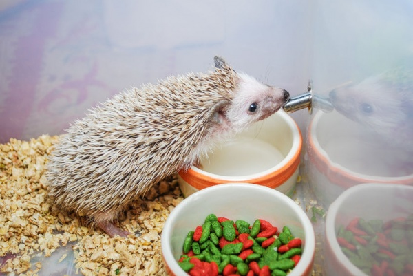 Hedgehogs do not use their quills to carry food