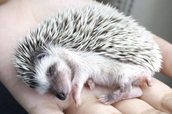 Hedgehogs love the night