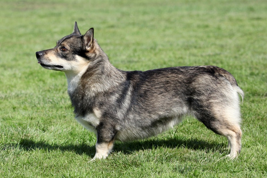 Swedish Vallhund dog breed