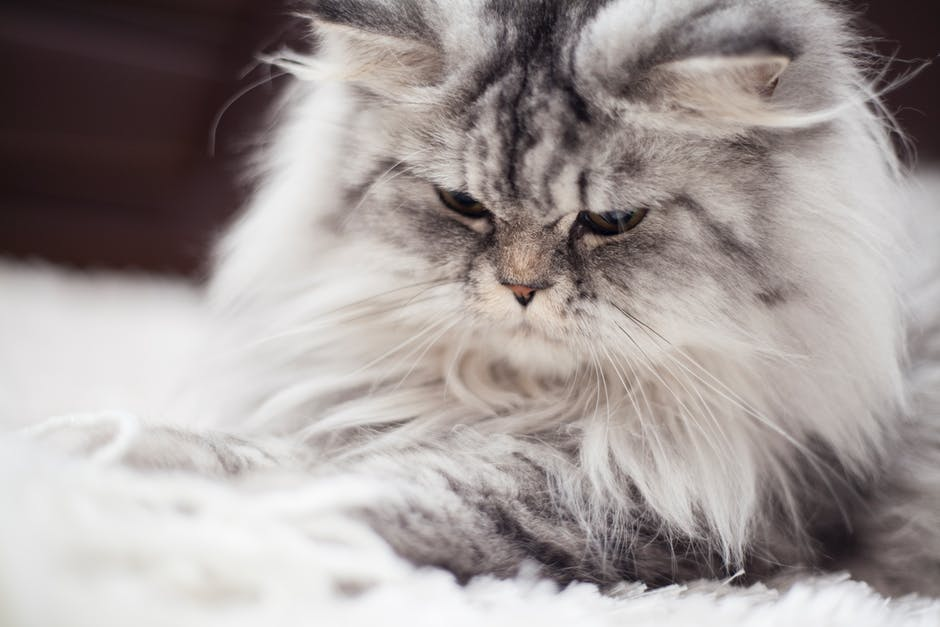 7  Teacup Persian - 9 Exotic Cat Breeds You May Have Never Seen Before