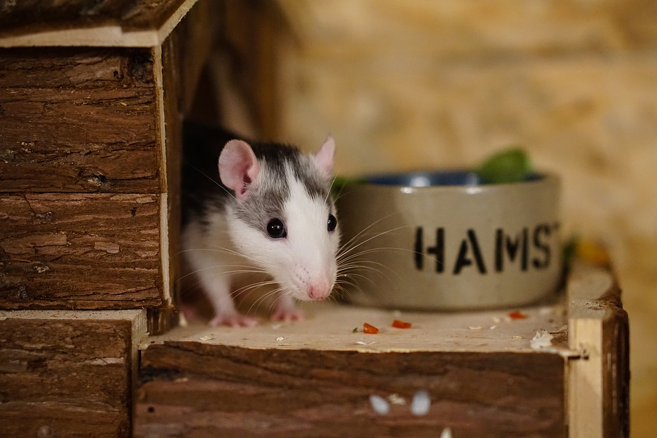 10 Human Foods that are Dangerous for Pet Rats