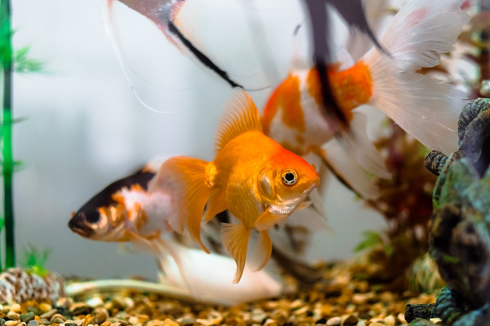 10 Interesting Facts About Goldfish