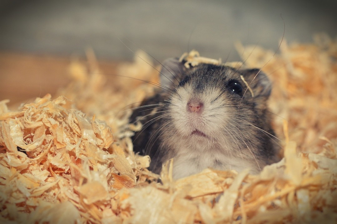 Things to Consider When Looking For a Hamster