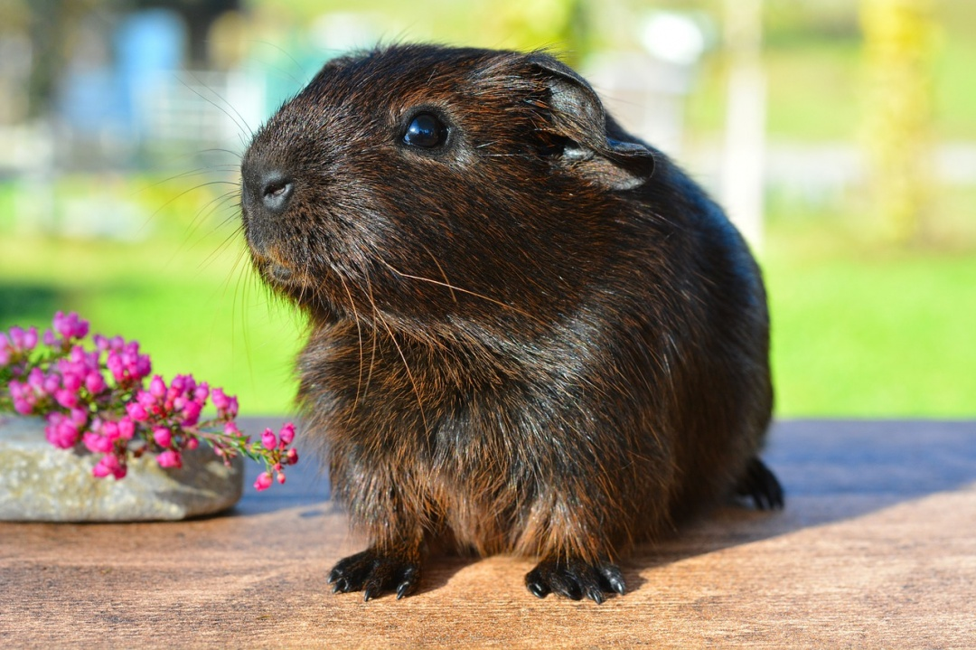 Things to Know Before Buying a Guinea Pig