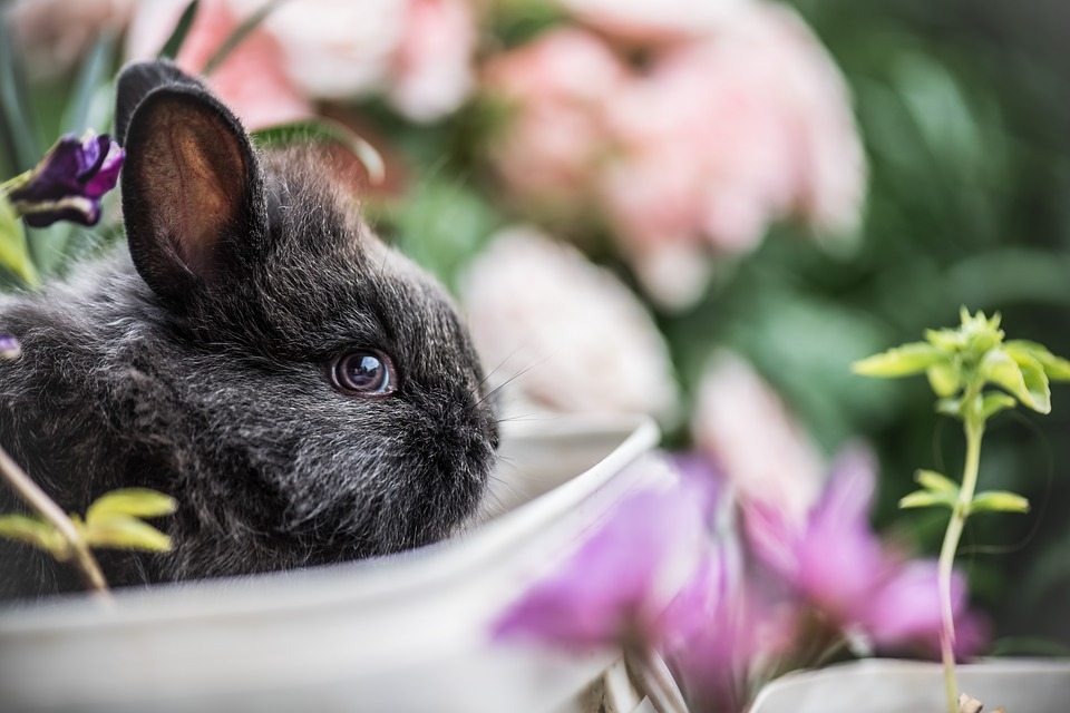 Most Beautiful Rabbit Breeds - Silver Fox