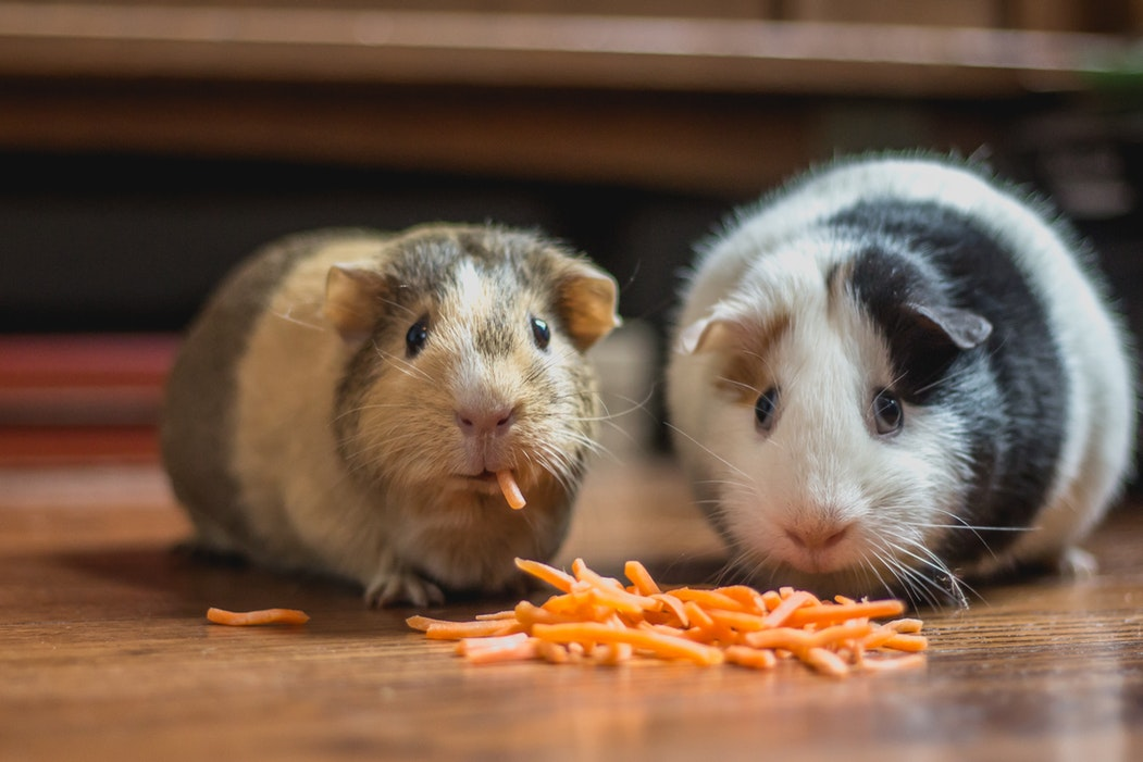 10 Amazing Facts about Guinea Pigs