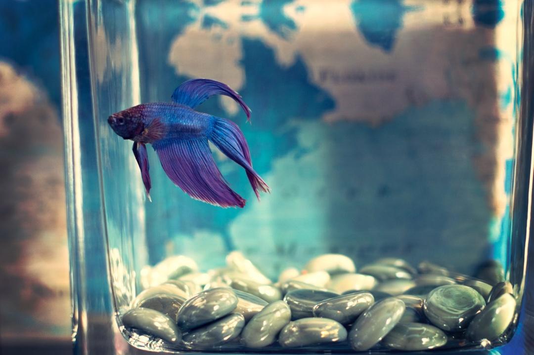 10 Aquarium Fish for Every Budget - Bettas