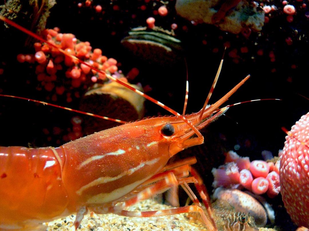 10 Aquarium Fish for Every Budget - Dwarf Crayfish