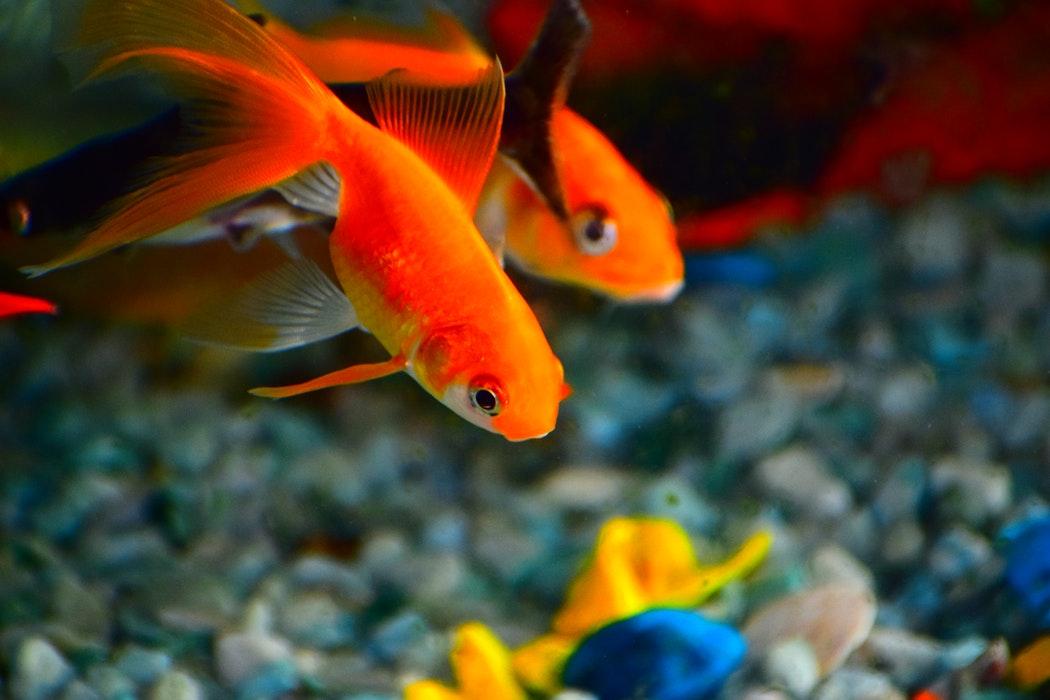 10 Aquarium Fish for Every Budget - Fancy Goldfish