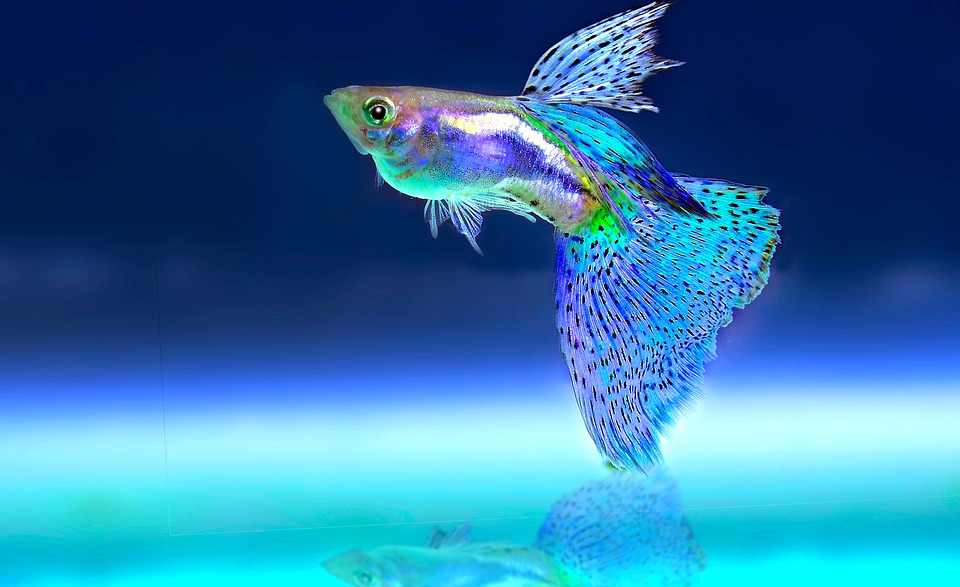 10 Aquarium Fish for Every Budget - Fancy Guppies