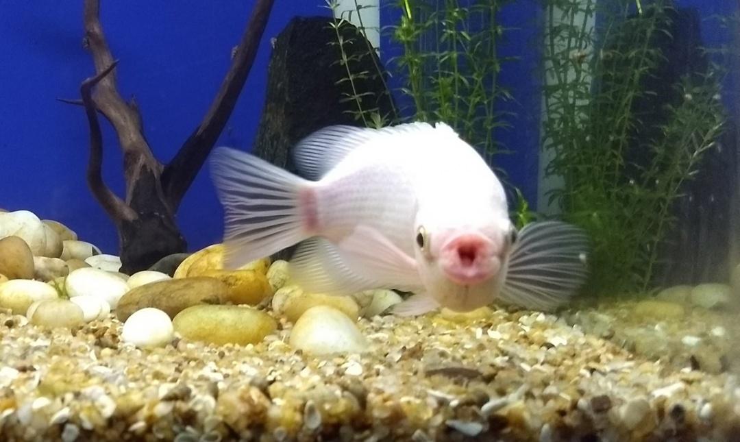 10 Aquarium Fish for Every Budget - Kissing Gourmis