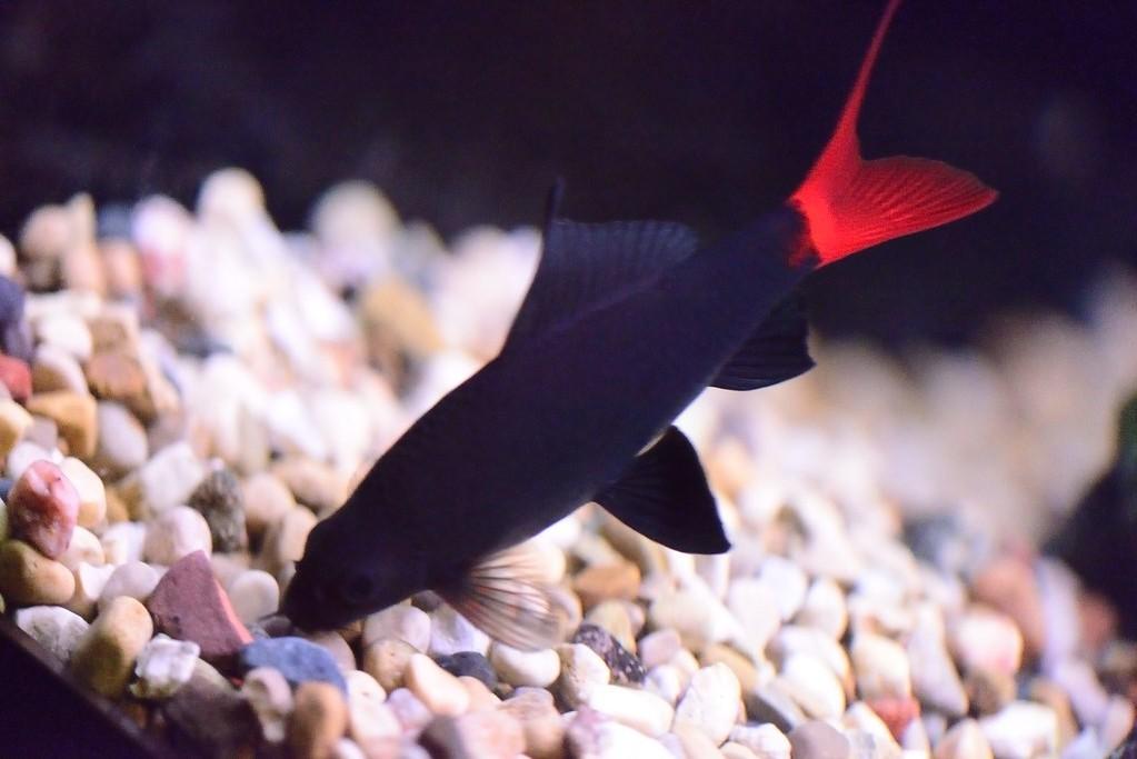10 Aquarium Fish for Every Budget - Redtail Sharks
