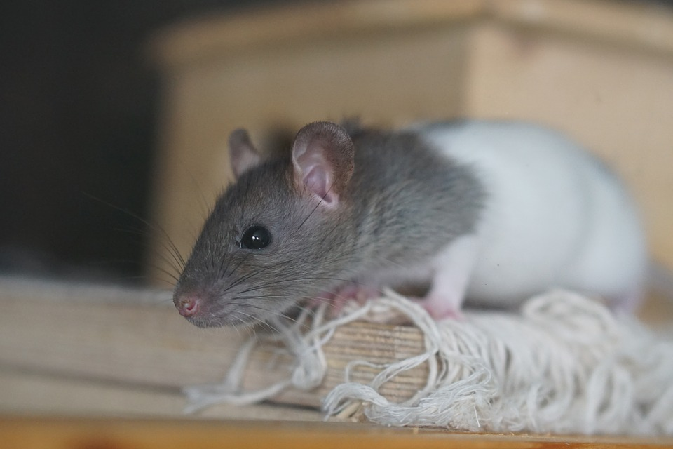11 Interesting Facts about Mice and Rats
