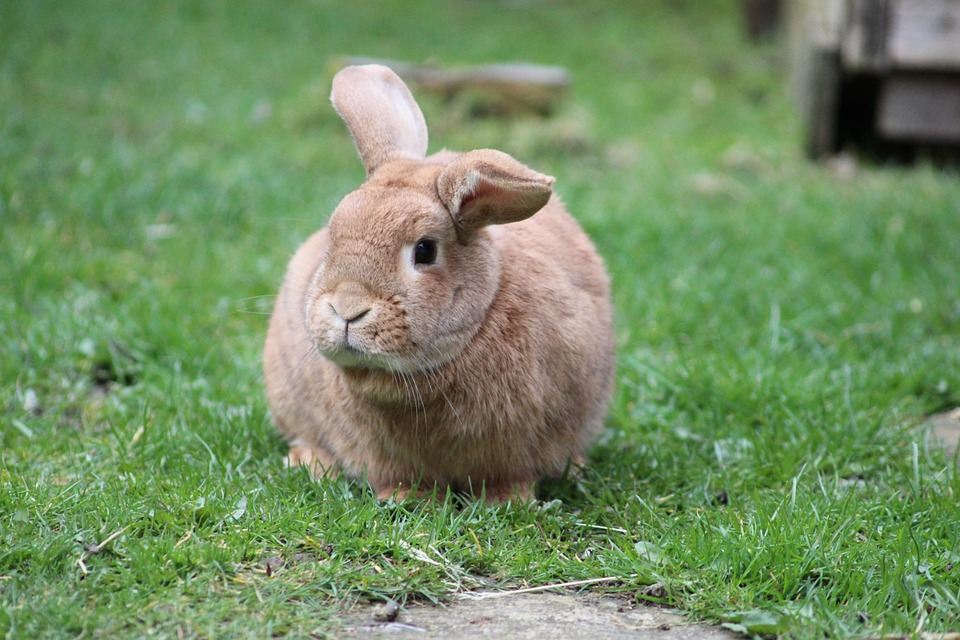 Most Beautiful Rabbit Breeds - Creme D'Argent