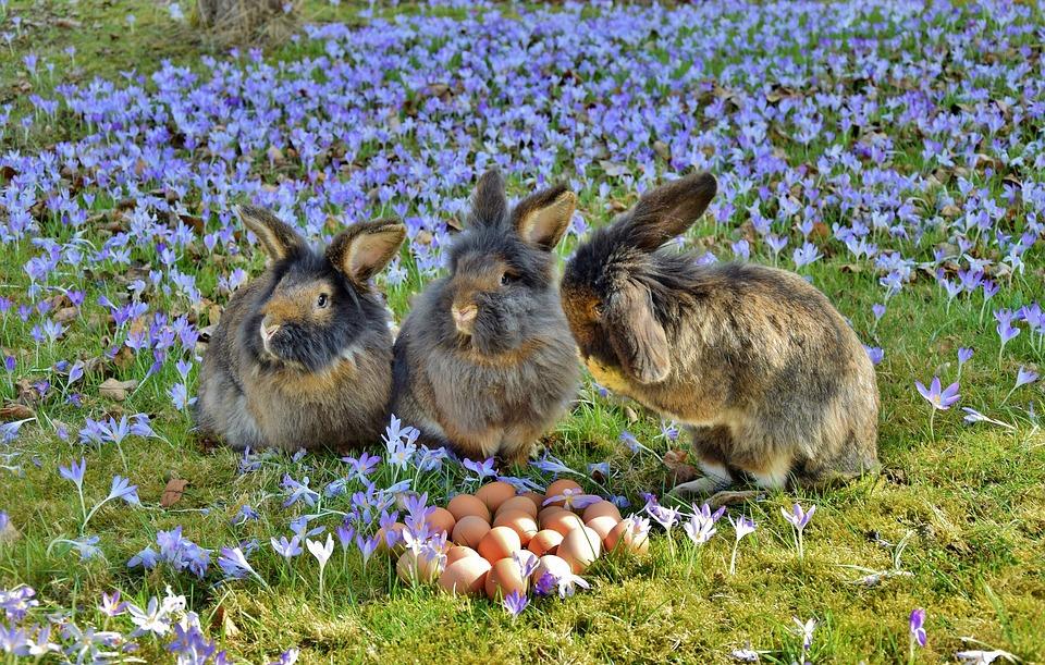 Most Beautiful Rabbit Breeds - Harlequin