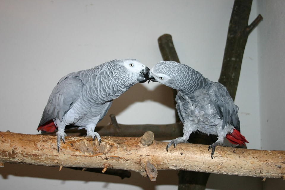 Top 10 Pet Birds - African Grey Parrots