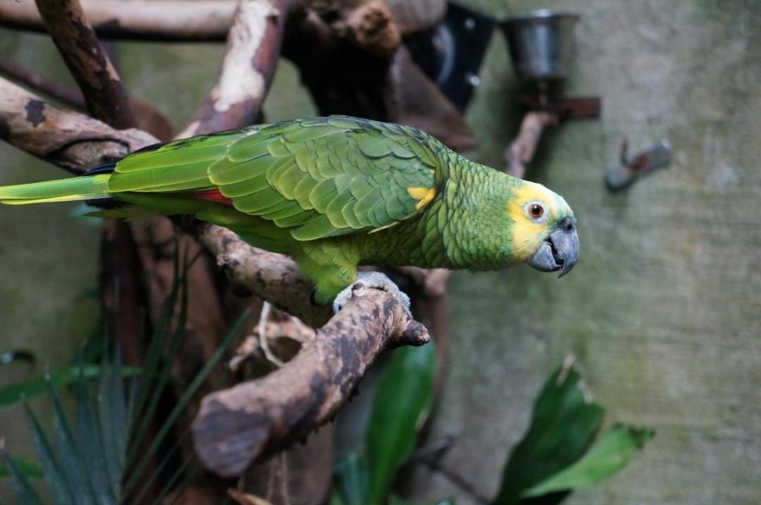 Top 10 Pet Birds - Amazon Parrots