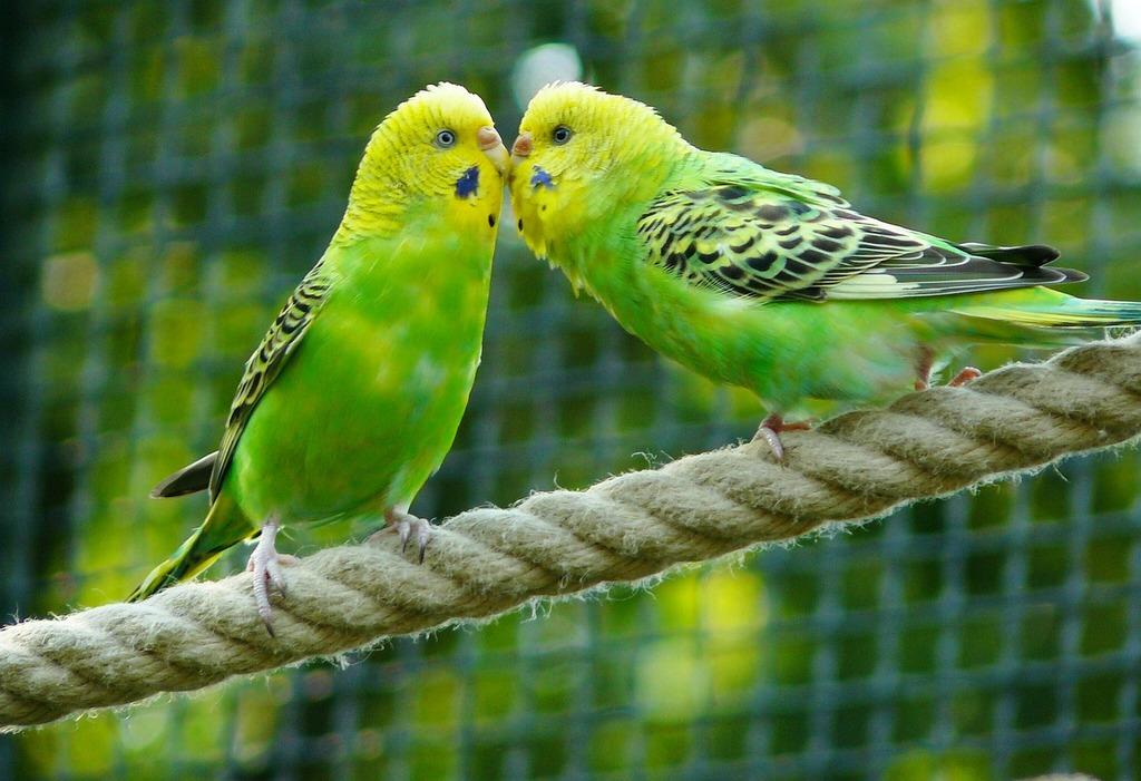 Top 10 Pet Birds - Budgerigars Parrots