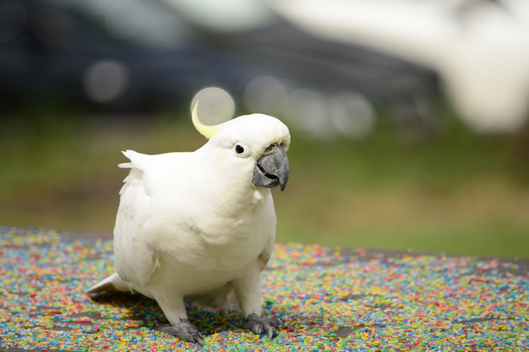 Top 10 Pet Birds - Cockatoos Parrots