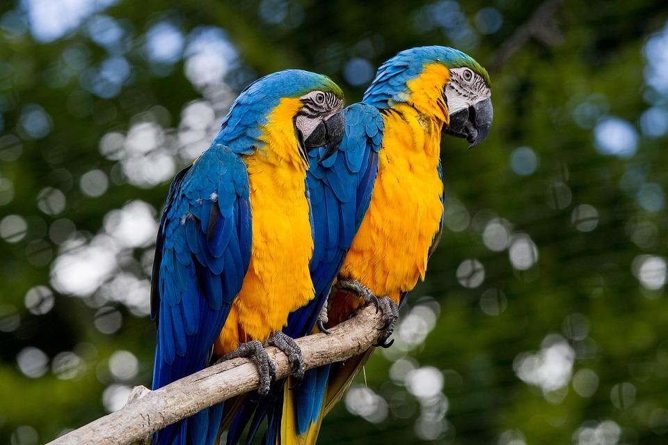 Top 10 Pet Birds - Macaws Parrots