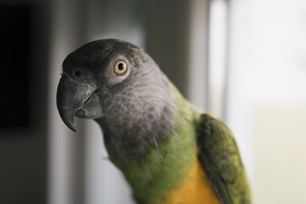 Top 10 Pet Birds - Senegal Parrots