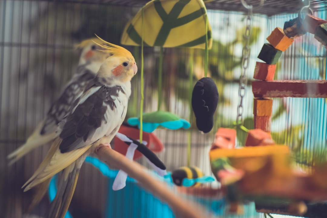 Top 10 Pet Birds