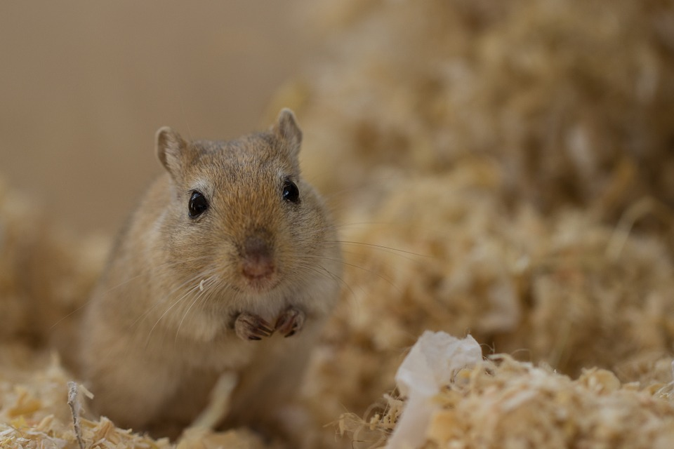 9 Interesting Facts about Gerbils