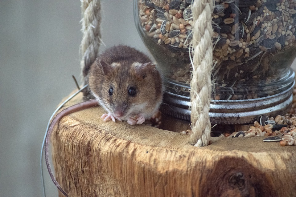 If your mouse or rat is from an untracked line, here are the best general-purpose foods that you can feed it 1